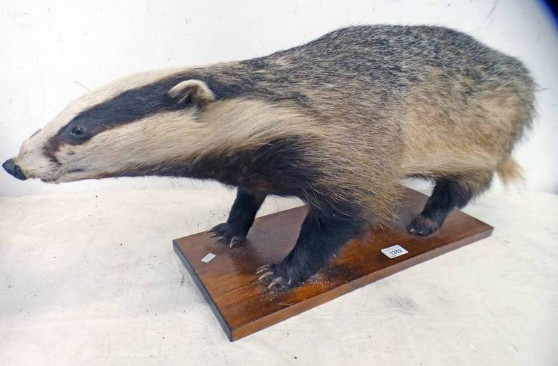 TAXIDERMY STUDY OF A BADGER,