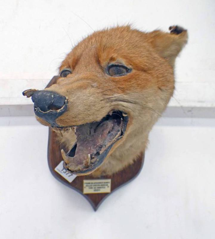 TAXIDERMY STUDY OF A FOX WITH OPEN MOUTH SHOWING TEETH LOOKING TO ONE SIDE,