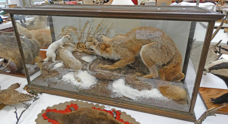 CASED TAXIDERMY STUDY OF A FOX FIGHTING OFF A FERRET OVER A DEAD RABBIT ON FAUX ROCKS AND FOLIAGE