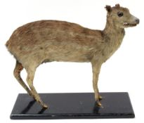 Taxidermy: Indian Spotted Chevrotain (Moschiola indica), circa 1920-1930, a full mount adult with
