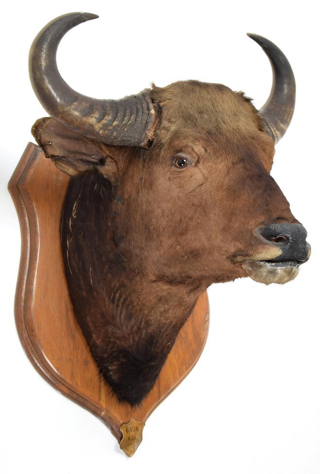 Taxidermy: Indian Gaur Buffalo (Bos gaurus gaurus), circa 1900-1910, India, large adult bull neck