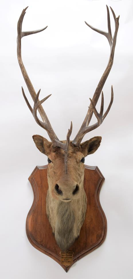 Taxidermy: North American Woodland Caribou (Rangifer tarandus caribou), circa September 11th 1878, - Image 2 of 3