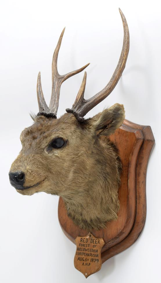 Taxidermy: Indian Hog Deer (Axis porcinus), circa 1887, an adult male head mount looking straight - Image 2 of 3