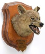 Taxidermy: Indian Wolf (Canis lupus pallipes), circa December 05th 1887, Oudh, Northern India, by
