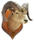 Taxidermy: North American Big Horn Sheep (Ovis canadensis canadensis), circa September 20th 1878,