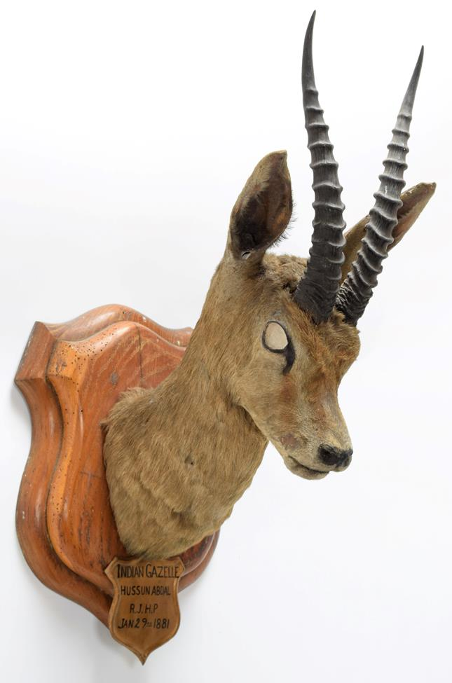 Taxidermy: Chinkara or Indian Gazelle (Gazella bennettii), circa January 29th 1881, Hussan Abdul, - Image 2 of 3