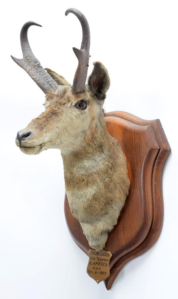 Taxidermy: North American Pronghorn (Antilocapra americana), circa September 06th 1877, North West - Image 2 of 3