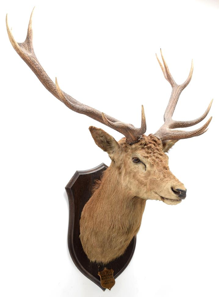 Taxidermy: New Zealand Red Deer (Cervus elaphus), circa March 1936, Okuru, South Island, by