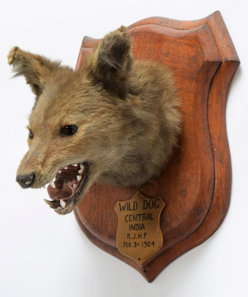 Taxidermy: Indian Wild Dog (Cuon alpinus), circa February 03rd 1904, by Rowland Ward ''The Jungle'', - Image 2 of 3