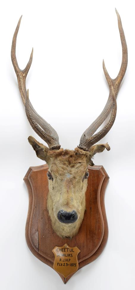 Taxidermy: Chital or Axis Deer (Axis axis), circa February 23rd 1875, Sewaliks Hills, Nepal, adult - Image 3 of 3
