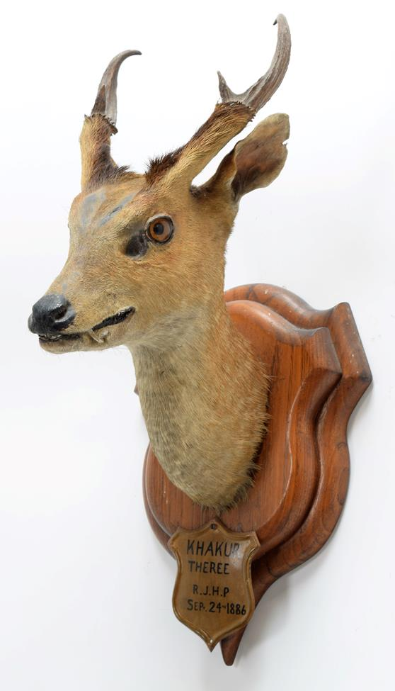 Taxidermy: Indian Muntjac (Muntiacus muntjak), circa September 24th 1886, Theree, India, adult - Image 2 of 3