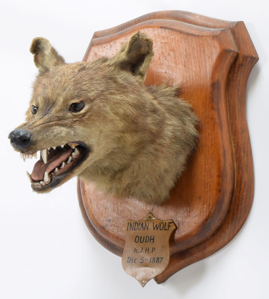 Taxidermy: Indian Wolf (Canis lupus pallipes), circa December 05th 1887, Oudh, Northern India, by - Image 2 of 3