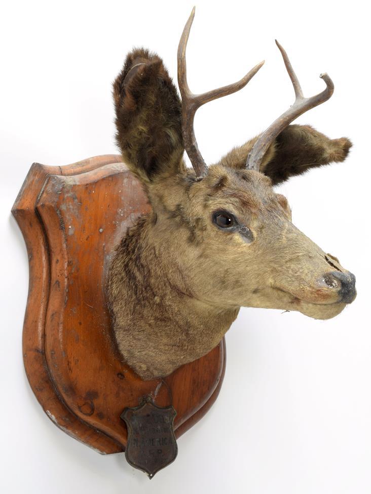 Taxidermy: A Pair of Mule Deer (Odocoileus hemionus), circa September 29th 1877, North West