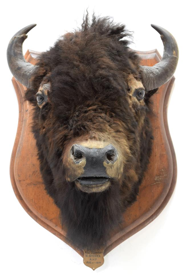 Taxidermy: North American Bison (Bos bison bison), circa August 31st 1877, North West Territory,