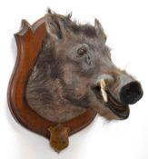 Taxidermy: Indian Wild Boar (Sus scrofa cristatus), circa April 04th 1901, Assam, Northeastern