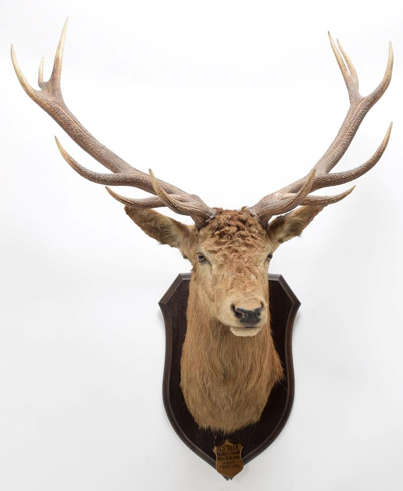 Taxidermy: New Zealand Red Deer (Cervus elaphus), circa March 1936, Okuru, South Island, by - Image 3 of 4
