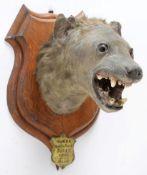 Taxidermy: Spotted Hyena (Crocuta Crocuta), circa September 02nd 1897, Moida River, South Africa,