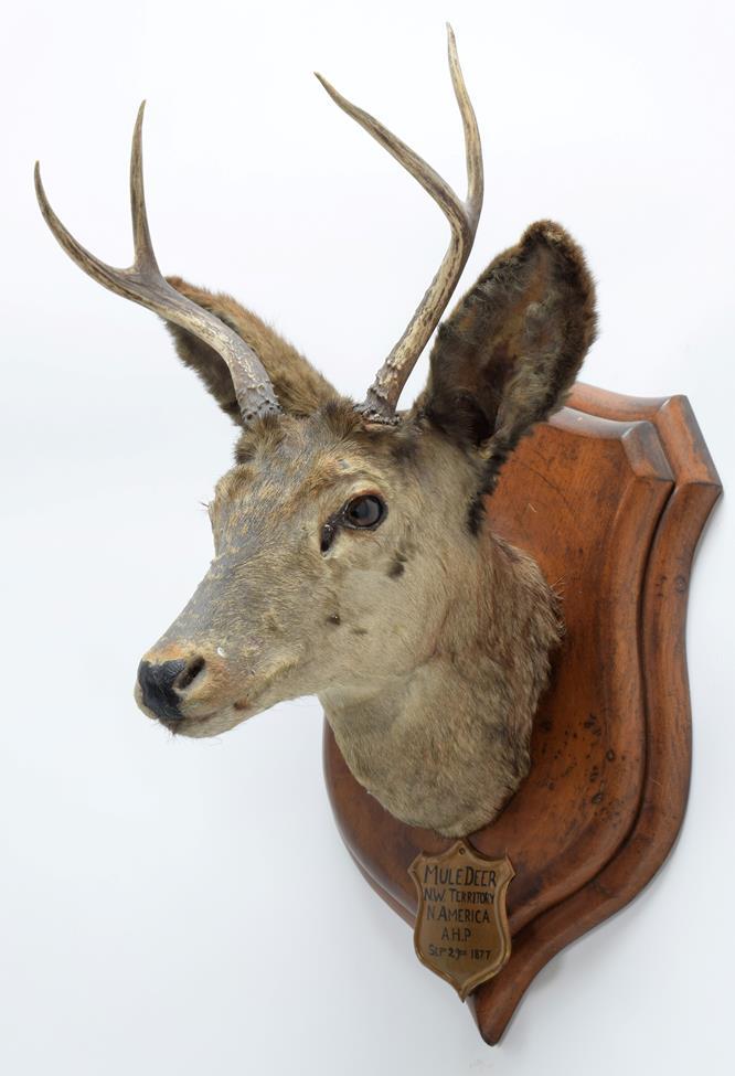 Taxidermy: A Pair of Mule Deer (Odocoileus hemionus), circa September 29th 1877, North West - Image 5 of 6