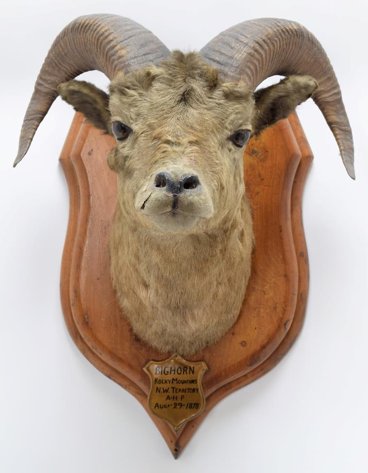 Taxidermy: Big Horn Sheep (Ovis canadensis), circa August 29th 1878, Rocky Mountains, North West - Image 3 of 3