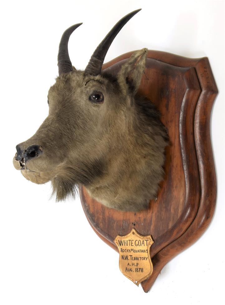 Taxidermy: Rocky Mountain Goat (Oreamnos americanus), circa August 1878, Rocky Mountains, N W