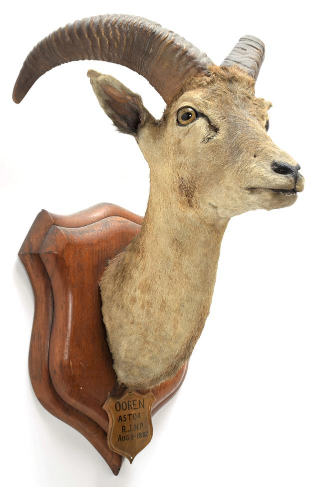 Taxidermy: Ladak Urial (Ovis orientalis vignei), circa August 11th 1882, India, young adult male
