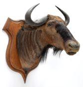 Taxidermy: Blue Wildebeest (Connochaetes taurinus), circa 26th June 1897, Sand River, East Africa,
