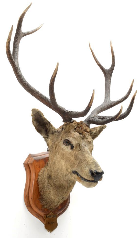 Taxidermy: Kashmir Deer or Hangul (Cervus elaphus hangul), circa 1877, Kashmir, India, large adult