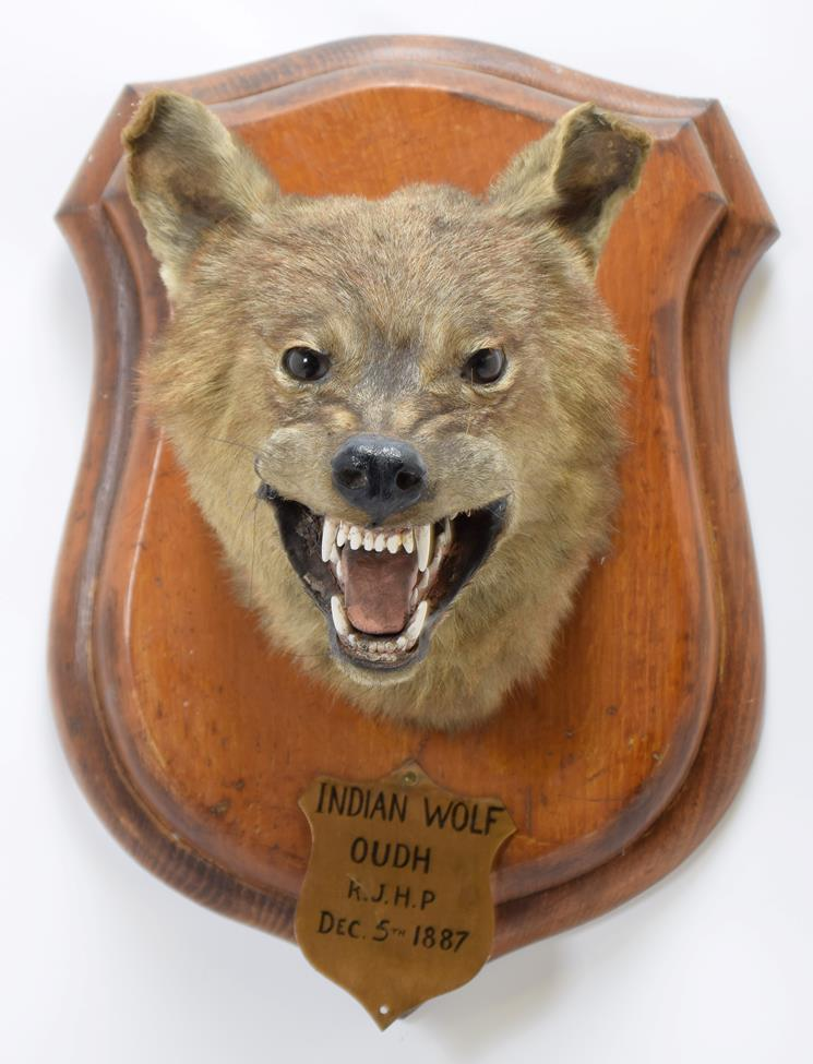Taxidermy: Indian Wolf (Canis lupus pallipes), circa December 05th 1887, Oudh, Northern India, by - Image 3 of 3