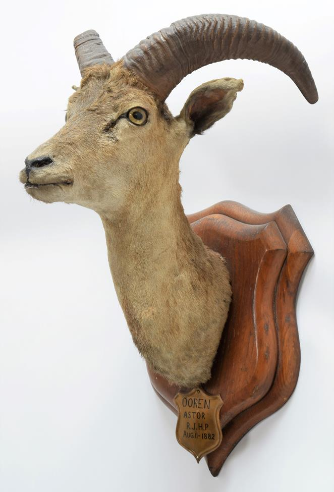 Taxidermy: Ladak Urial (Ovis orientalis vignei), circa August 11th 1882, India, young adult male - Image 2 of 3