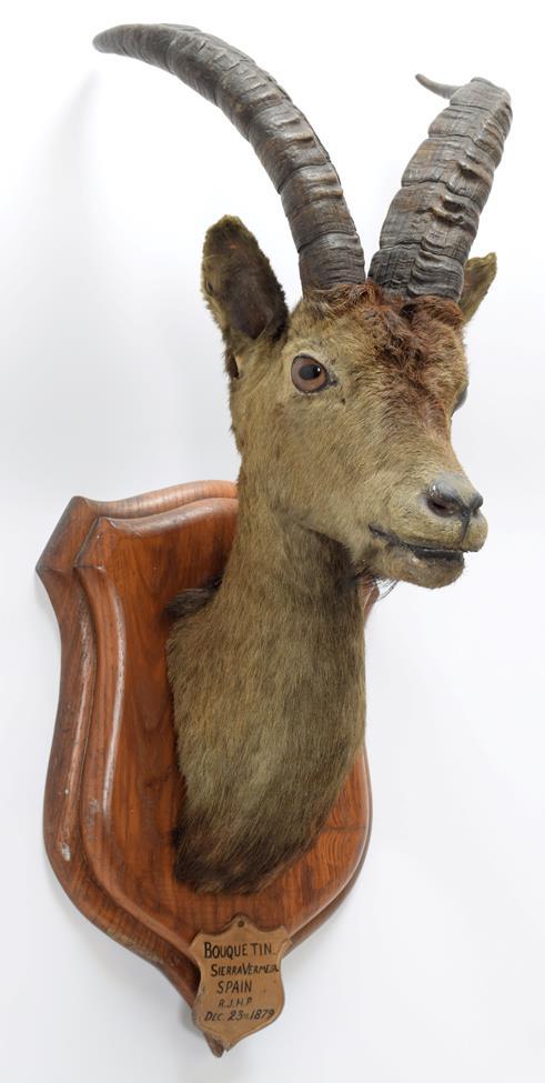 Taxidermy: Spanish Ibex (Capra pyrenaica), circa December 23rd 1879, Bouquetin, Sierra Vermeja, - Image 3 of 3