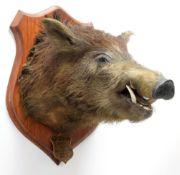 Taxidermy: New Zealand Wild Boar (Sus scrofa), circa August 1935, New Zealand, adult head mount