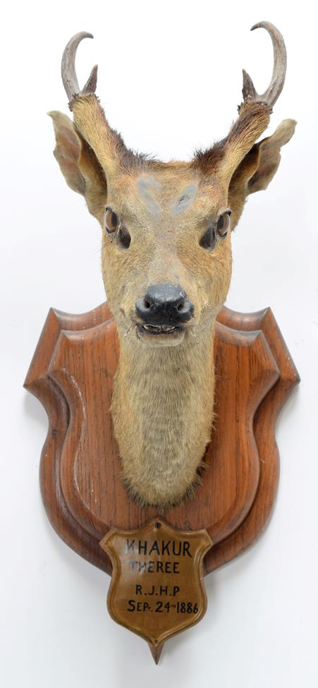 Taxidermy: Indian Muntjac (Muntiacus muntjak), circa September 24th 1886, Theree, India, adult - Image 3 of 3