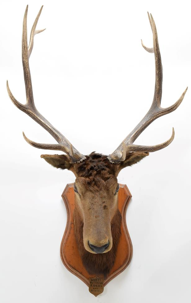 Taxidermy: North American Wapiti (Cervus canadensis), circa October 02nd 1877, North West Territory, - Image 3 of 3