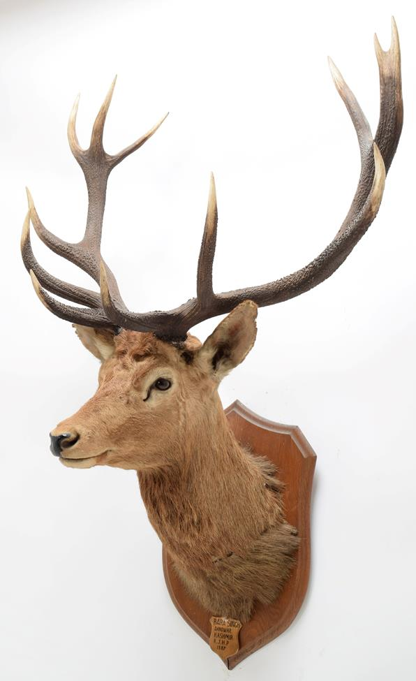 Taxidermy: Kashmir Deer or Hangul (Cervus elaphus hangul), circa 1887, Kashmir, by Rowland Ward '' - Image 2 of 3