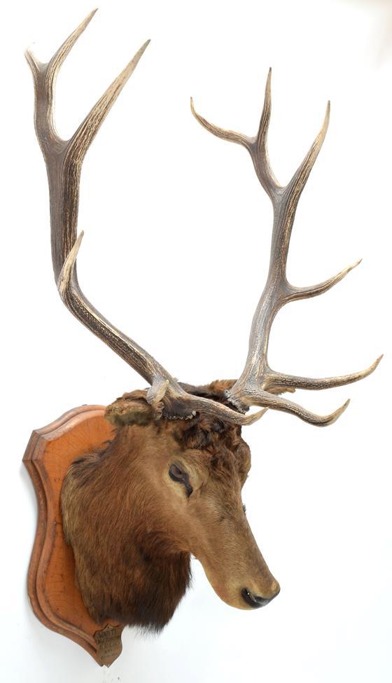 Taxidermy: North American Wapiti (Cervus canadensis), circa October 02nd 1877, North West Territory,