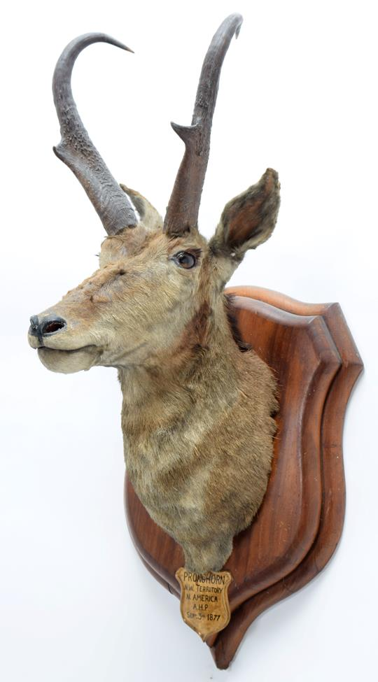 Taxidermy: North American Pronghorn (Antilocapra americana), circa September 03rd 1877, North West - Image 2 of 3