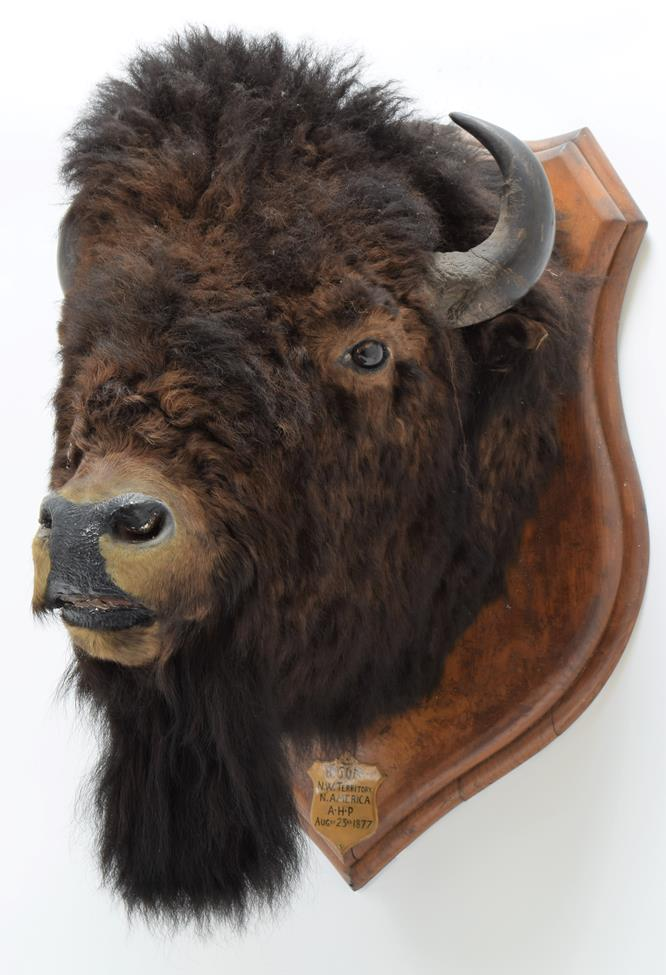 Taxidermy: North American Bison (Bos bison bison), circa August 23rd 1877, North West Territory, - Image 2 of 3