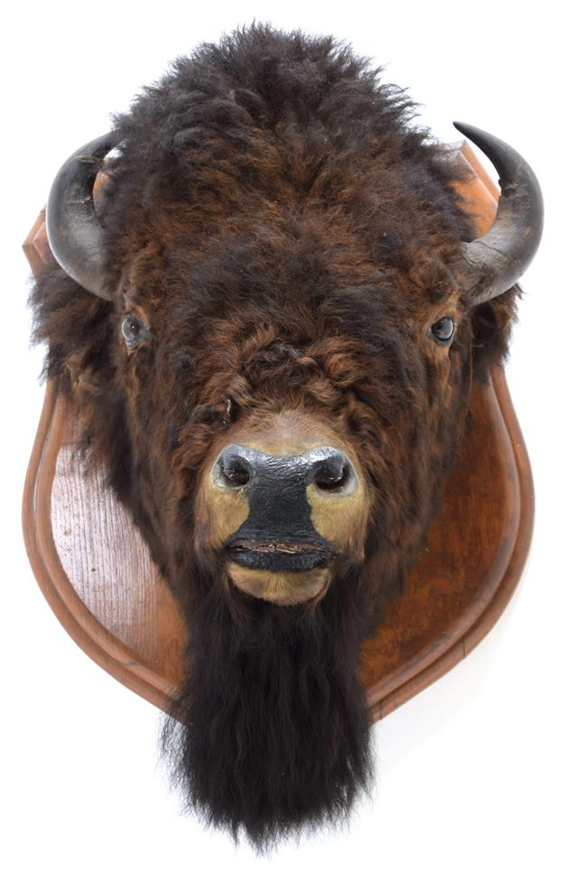 Taxidermy: North American Bison (Bos bison bison), circa August 23rd 1877, North West Territory,