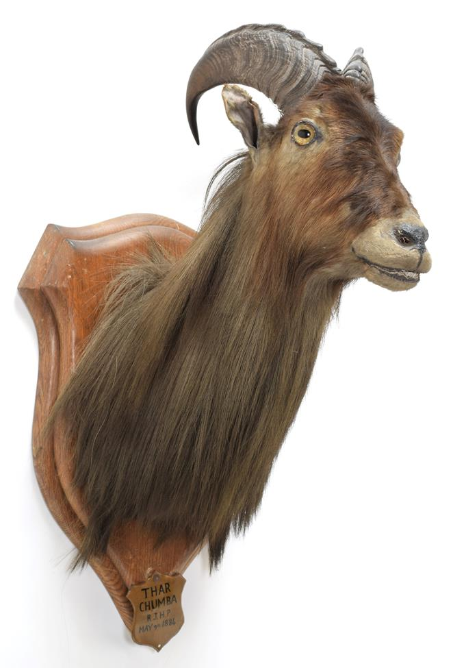 Taxidermy: Himalayan Tahr (Hemitragus jemlahicus), circa may 09th 1884, Chumbi Valley, Tibet,