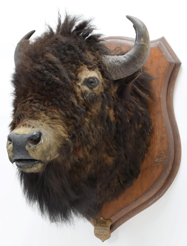 Taxidermy: North American Bison (Bos bison bison), circa August 31st 1877, North West Territory, - Image 3 of 3