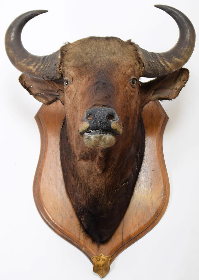 Taxidermy: Indian Gaur Buffalo (Bos gaurus gaurus), circa 1900-1910, India, large adult bull neck - Image 2 of 3