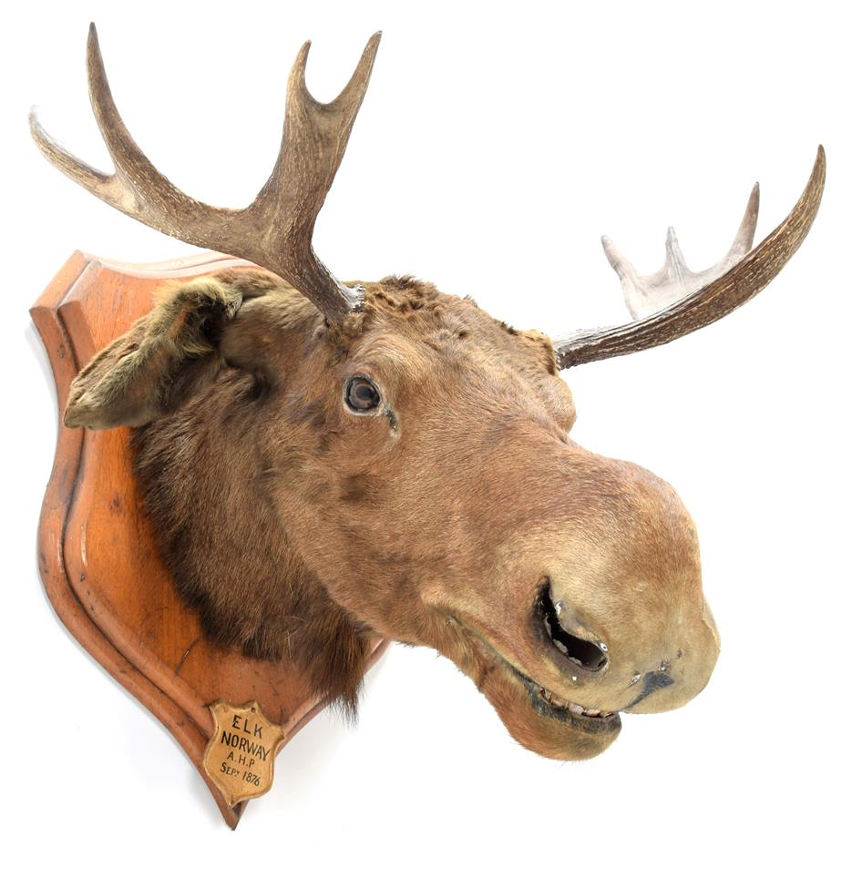 Taxidermy: European Moose (Alces alces), circa September 1876, Norway, young adult male head mount