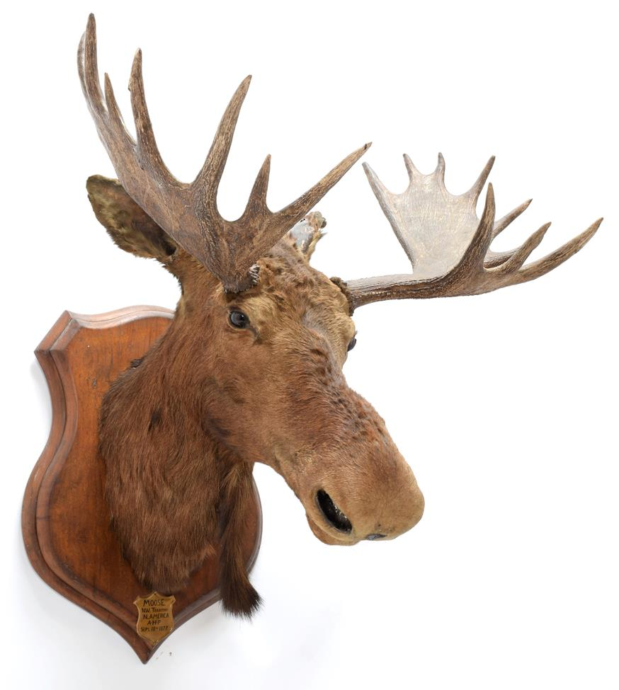 Taxidermy: North American Moose (Alces alces), circa September 18th 1877, N.W. Territory, adult male
