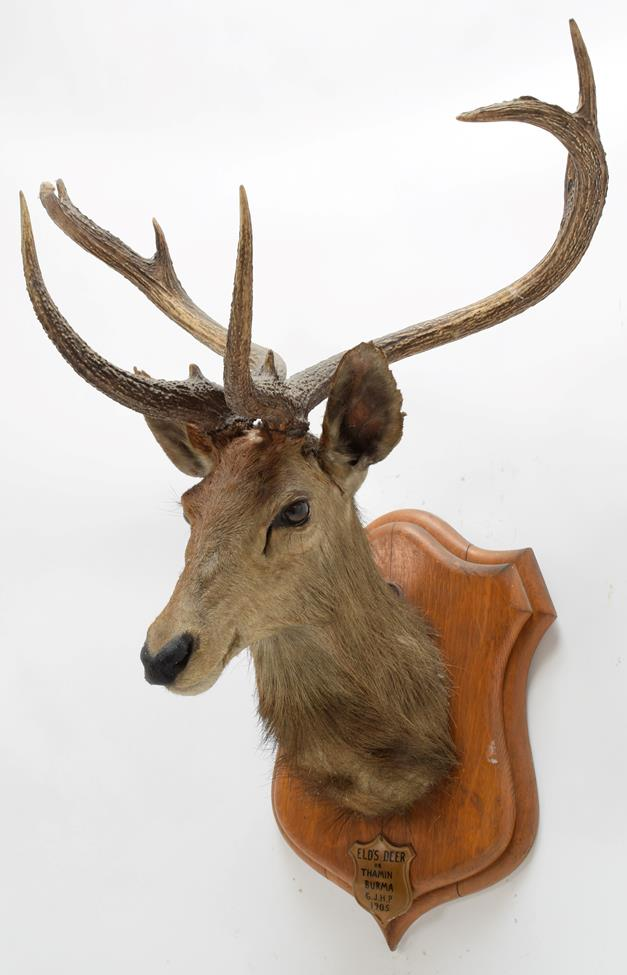 Taxidermy: Eld's Deer (Rucervus eldii), circa 1905, Burma, by Rowland Ward, ''The Jungle'', 166 - Image 2 of 3