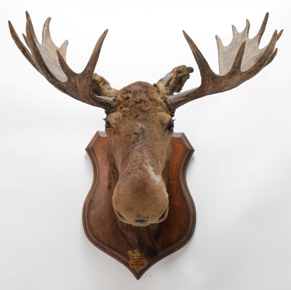 Taxidermy: North American Moose (Alces alces), circa September 18th 1877, N.W. Territory, adult male - Image 3 of 3