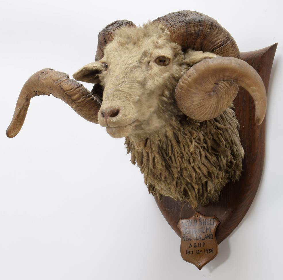 Taxidermy: New Zealand Wild Sheep / Arapawa Sheep (Ovis aries), circa October 12th 1936, New - Image 2 of 3