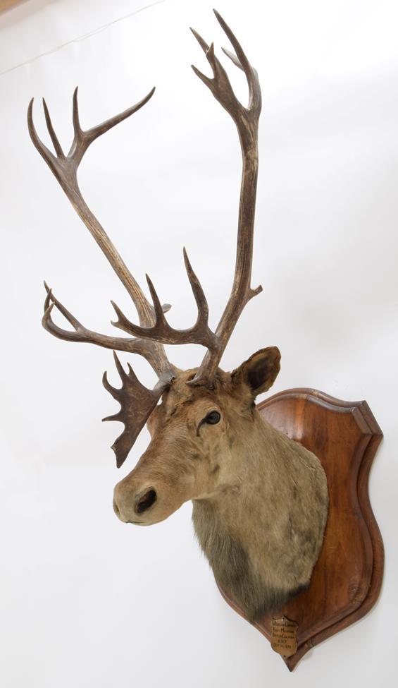 Taxidermy: North American Woodland Caribou (Rangifer tarandus caribou), circa September 11th 1878, - Image 3 of 3