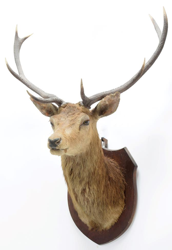 Taxidermy: Scottish Red Deer (Cervus elaphus), circa 1920, attributed to Peter Spicer & Sons, - Image 2 of 3