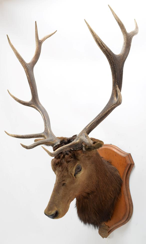 Taxidermy: North American Wapiti (Cervus canadensis), circa October 02nd 1877, North West Territory, - Image 2 of 3