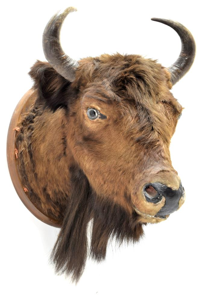 Taxidermy: European Bison (Bos bonasus), circa 1900, young adult male head mount looking straight